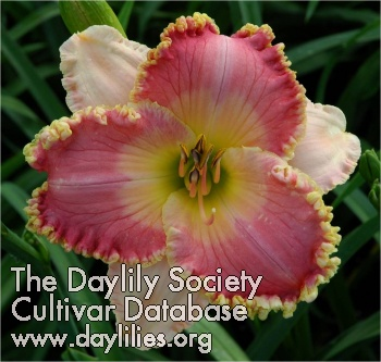 Daylily Photo - Delightfully Yours