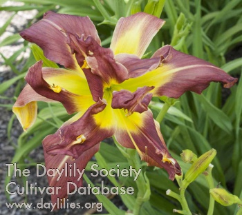 Daylily Photo - Depends On The Whether