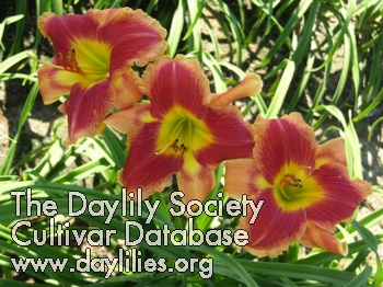 Daylily Photo - Different By Design