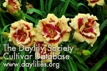 Daylily Photo - Double Cherries Duet