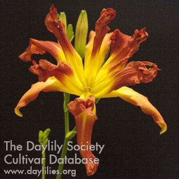 Daylily Photo - Double Figures