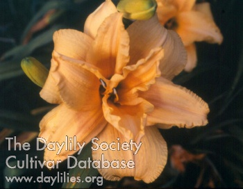 Daylily Photo - Double Peach Charmer
