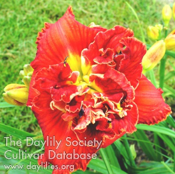 Daylily Double Hot Lover