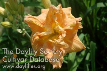 Daylily Photo - Double Dealing