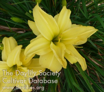 Daylily Photo - Double Me