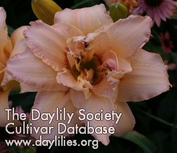 Daylily Photo - Double Explosion