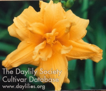 Daylily Photo - Double Talk