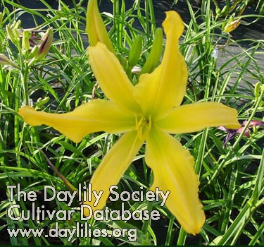 Daylily Photo - Elfin Sunshine