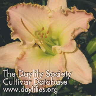 Daylily Photo - Elusive Happiness