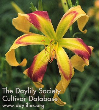 Daylily Photo - Emmaus