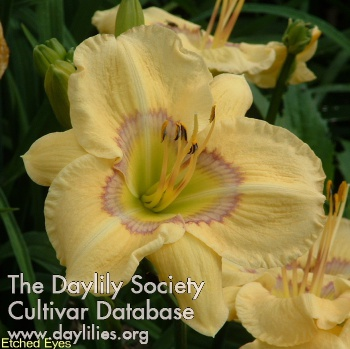 Daylily Photo - Etched Eyes