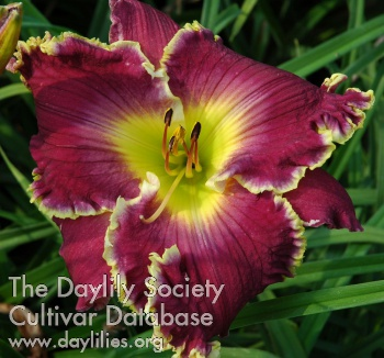 Daylily Photo - Evening Majesty