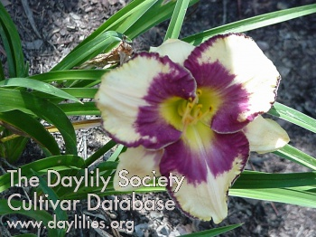 Daylily Photo - Eye Catching