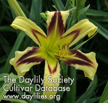 Daylily Photo - Eye Of Truth