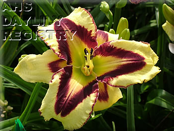 Daylily Photo - Eye of Horus