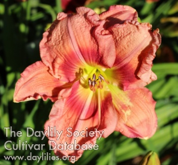 Daylily Photo - Fairhope Artist Colony