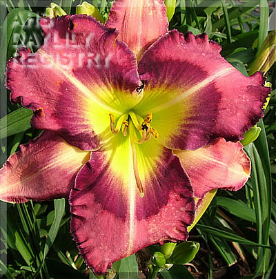 Daylily Photo - Focus on the Storm