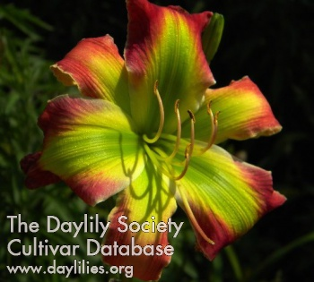 Daylily Photo - Fried Green Tomatoes