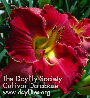 Daylily Photo - Full Throttle