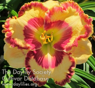 Daylily Photo - Flat Out Fabulous