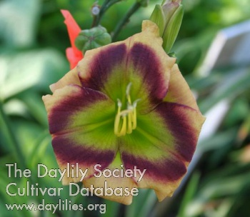 Daylily Photo - Green Derby