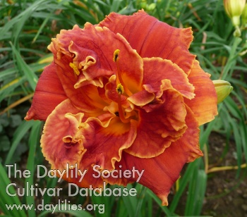Daylily Photo - Gleam Of Time