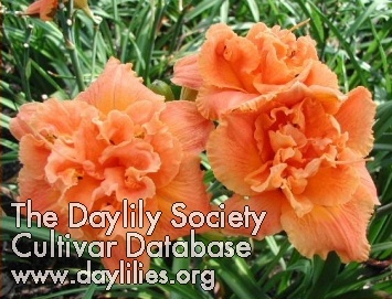 Daylily Photo - Glory in the Sunset