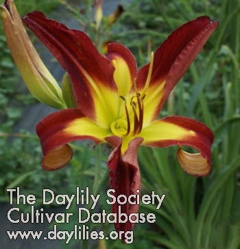 Daylily God's Wrath