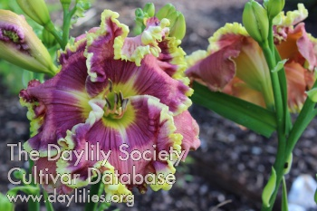 Daylily Photo - Going Big Time