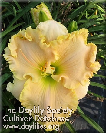 Daylily Photo - Great American Pie Pan