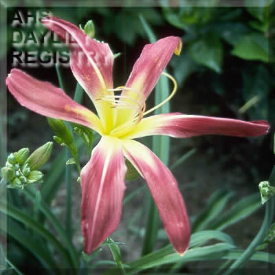Daylily Photo - Gadsden Goliath