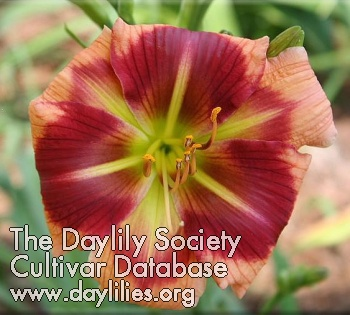 Daylily Photo - Hat's Off to Sue