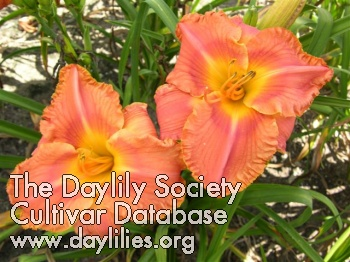 Daylily Photo - Hold On My Friend