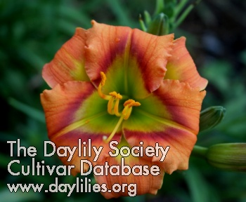 Daylily Photo - Halloween Green
