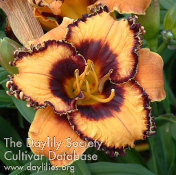 Daylily Photo - Happy Halloween