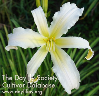 Daylily Photo - Heavenly Snow White