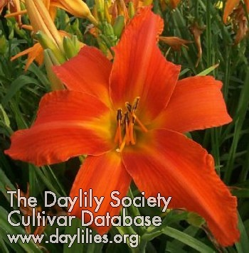 Daylily Photo - Heavenly Dragon Fire