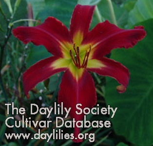 Daylily Photo - Heavenly United We Stand