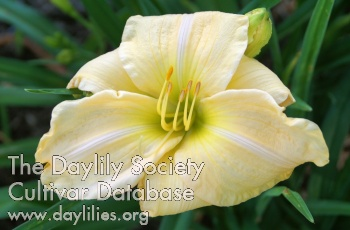 Daylily Photo - Homeward Bound