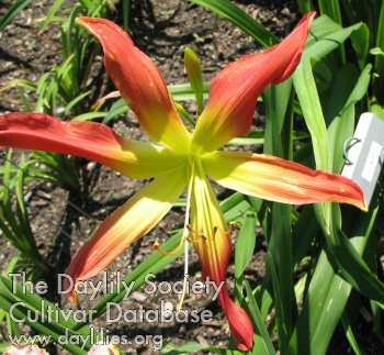 Daylily Photo - Hot Wheels