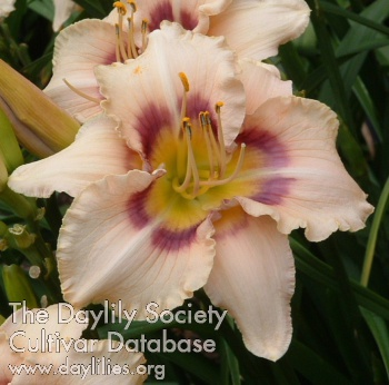 Daylily Photo - Huckleberry Candy