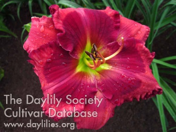 Daylily Photo - Hotlanta
