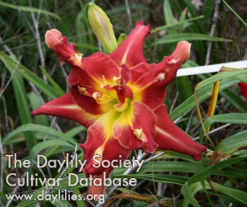 Daylily Photo - If I Only Had A Brain