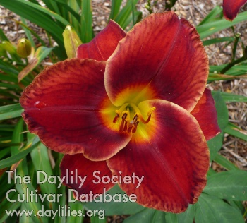 Daylily Photo - Illini Pacesetter