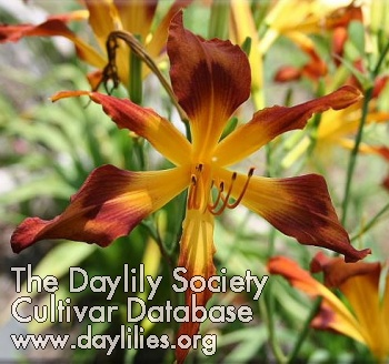 Daylily Photo - Incy Wincy Spider