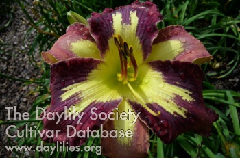 Daylily Photo - Inner Spirit