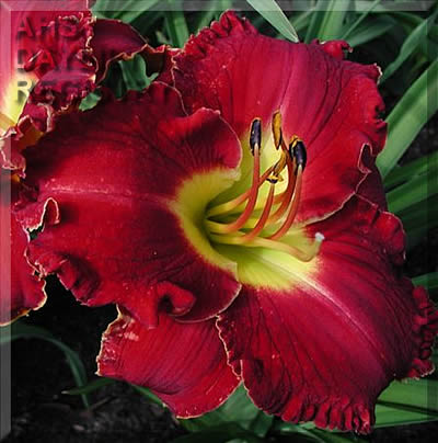 Daylily It Is Finished