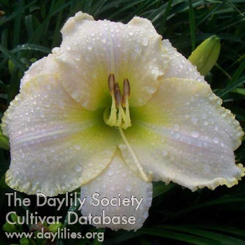 Daylily Photo - Ivory Titan