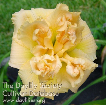 Daylily Photo - In Excess