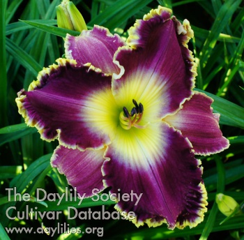 Daylily I See How You Look at Me